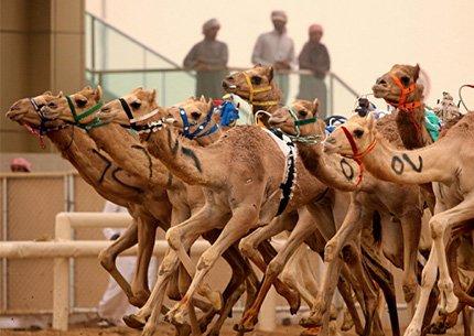 Camel Race Track Tour